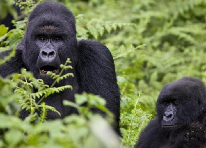 Gorila Gunung Yang Hidup Di Taman Nasional Virunga