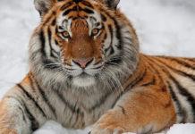 Harimau Siberia Predator Terbesar Di Dunia