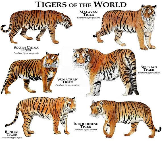 Jenis Harimau Dari Seluruh Dunia