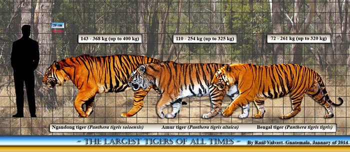 Perbandingan ukuran Harimau ngandong (Sudah Punah), Harimau siberia, Harimau bengal dengan manusia.