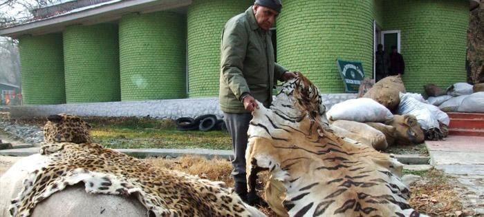 Perburuan Harimau Yang Mengancam Populasi Mereka