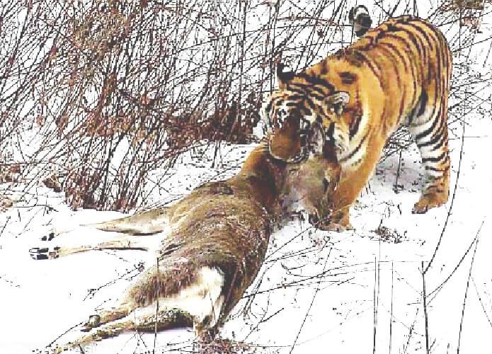 harimau siberia sedang berburu