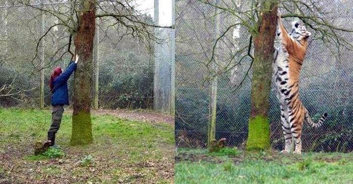 perbandingan tinggi harimau dan manusia