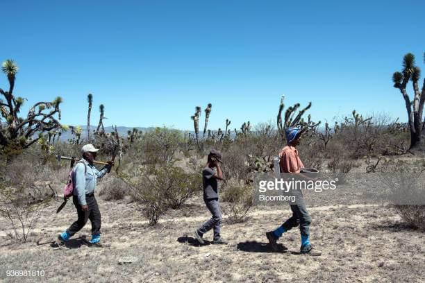 escamolores berjalan kaki menuju sarang semut untuk memanennya